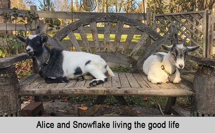Alice and Snowflake living the good life.