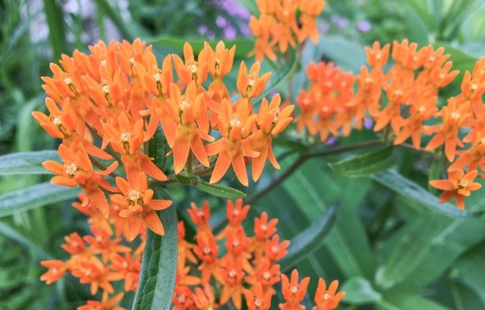 Butterfly weed at St Francis Cottage