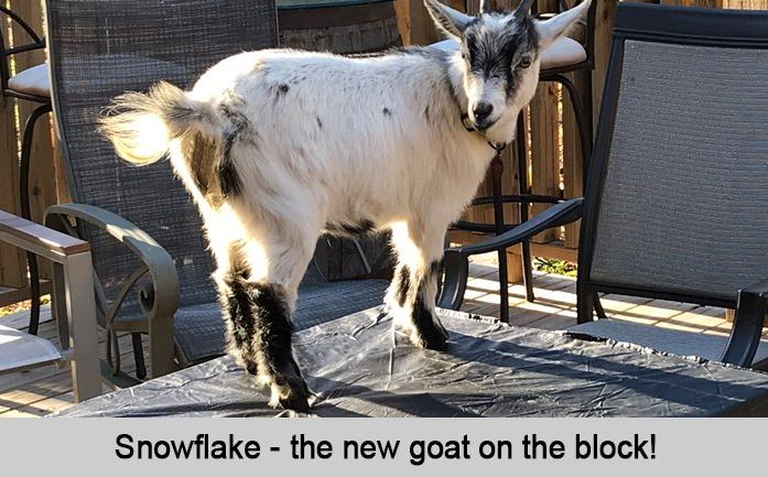 Snowflake, the new goat on the block.
