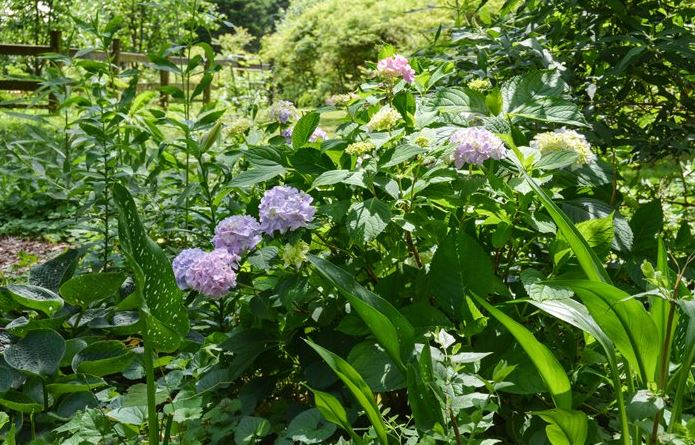 More hydrangeas at St Francis Cottage