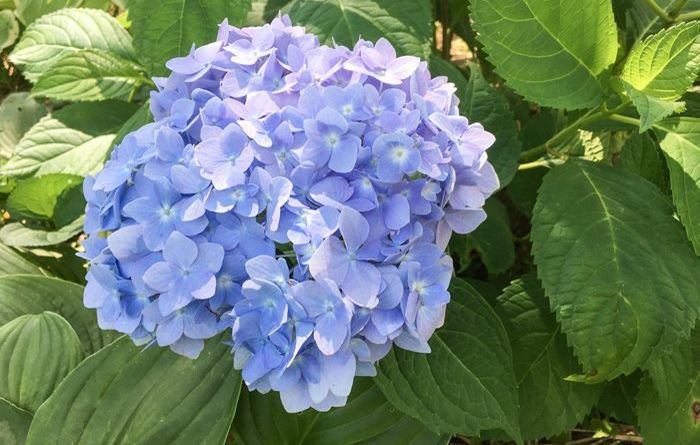 Blue hydrangeas at St Francis Cottage