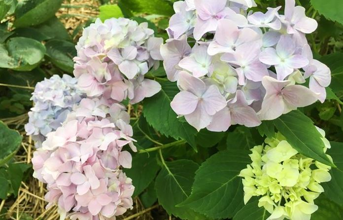 Multi-colored Hydrangeas at St Francis Cottage