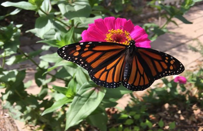 Monarch Butterfly at St Francis Cottage