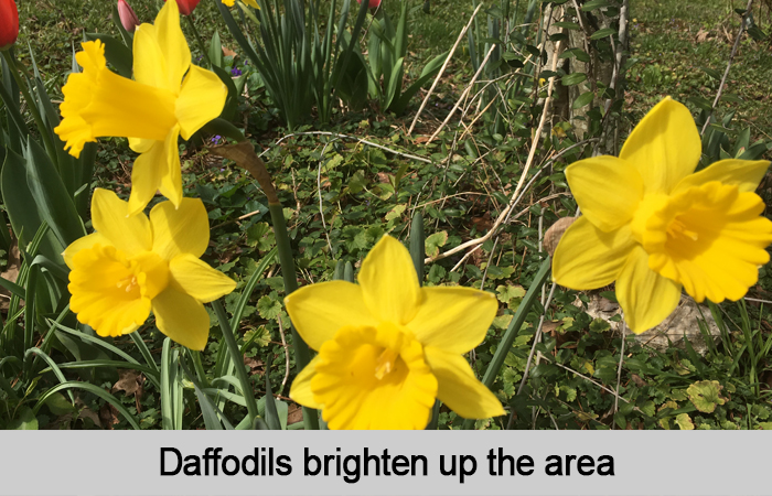 Daffodils brighten up the area