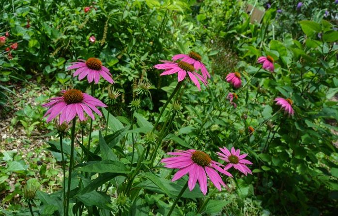 Purple cone flowers at St Francis Cottage