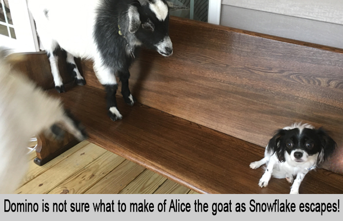 Domino is not sure what to make of Alice the goat as Snowflake escapes.