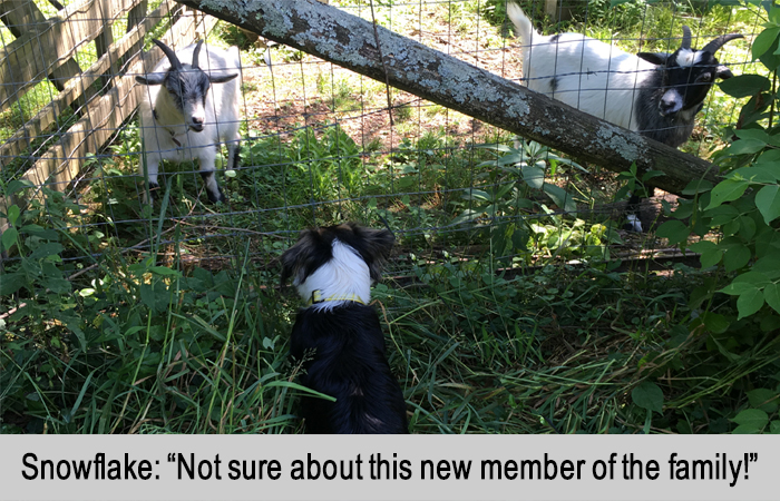 Snowflake, the goat, and Mini, the dog facing off at the fence.